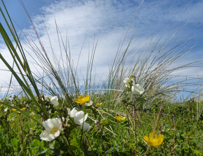 Wild flowers growing in Ynyslas Dunes