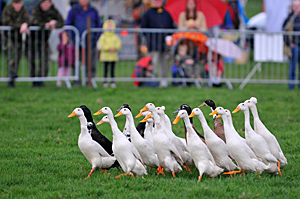 Geese Herding at the Monmothshire Show