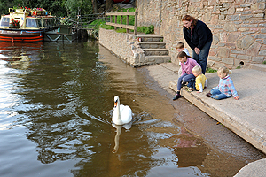 Feeding the swans at Symonds Yat east