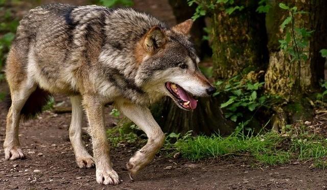 the welsh werewolf